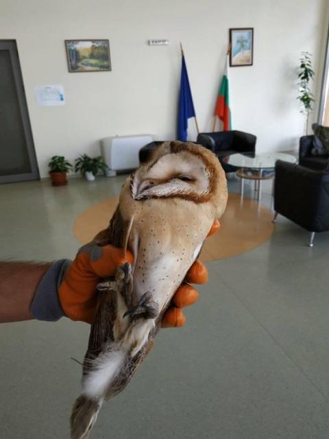 Служители на ДПП Сините камъни помогнаха за спасяването на забулена сова след сигнал